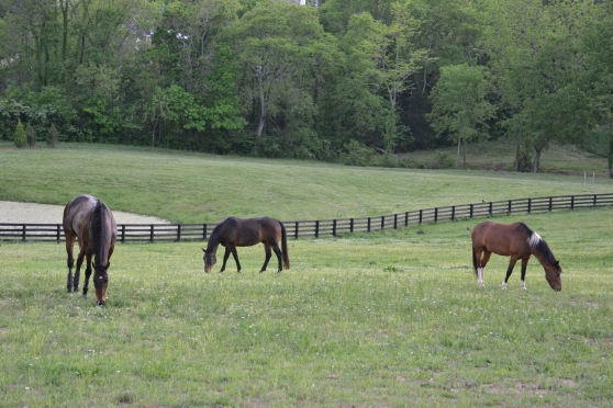 Grazing in the big paddock with my new friends.