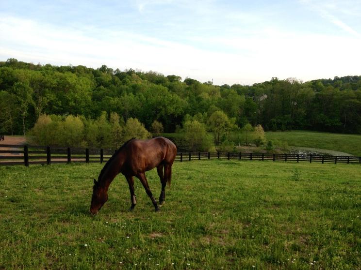 Grazing in my new HUGE paddock!